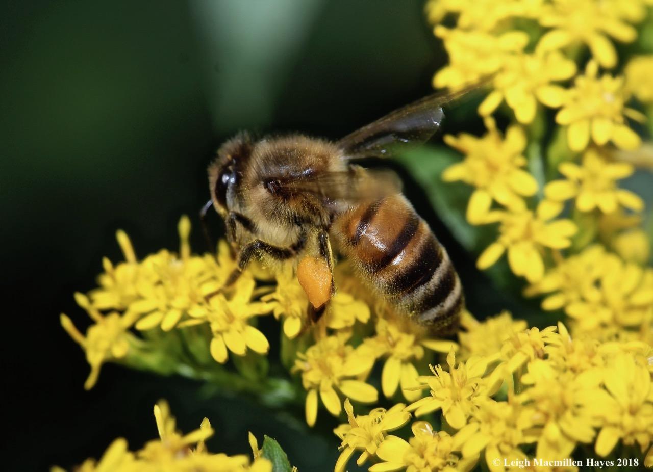 6-honey bee