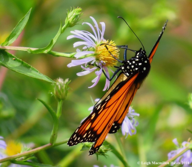 6-monarch on aster