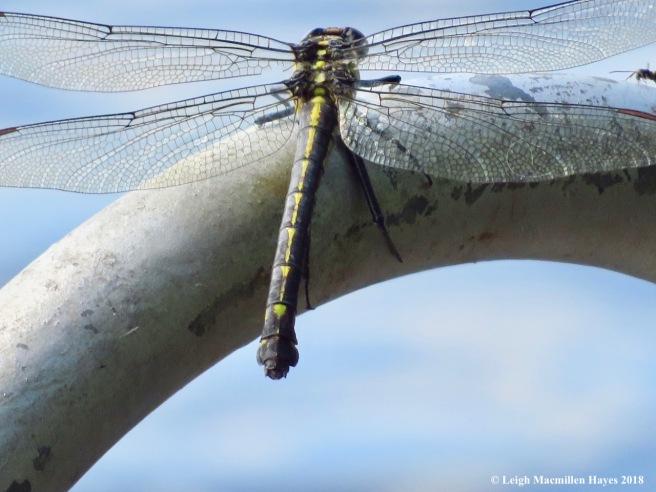 6a-lancet clubtail dragonfly