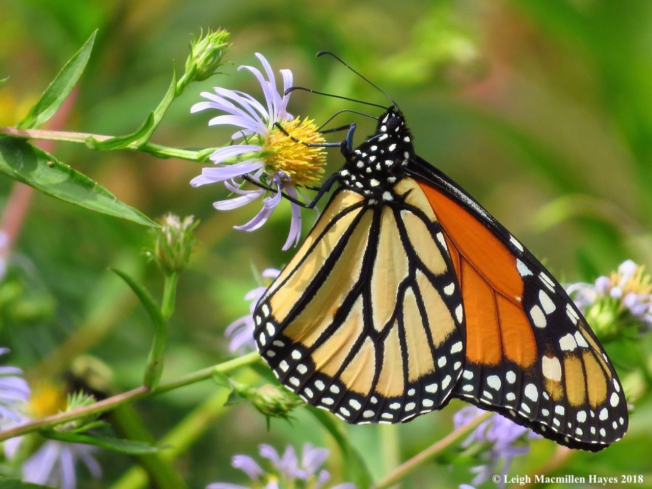 6a-monarch