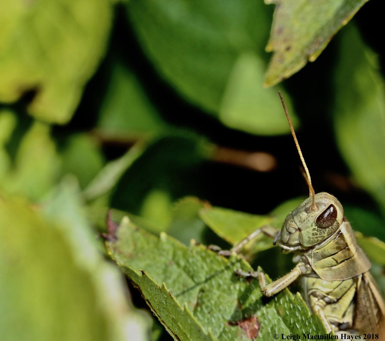 7-grasshopper 1