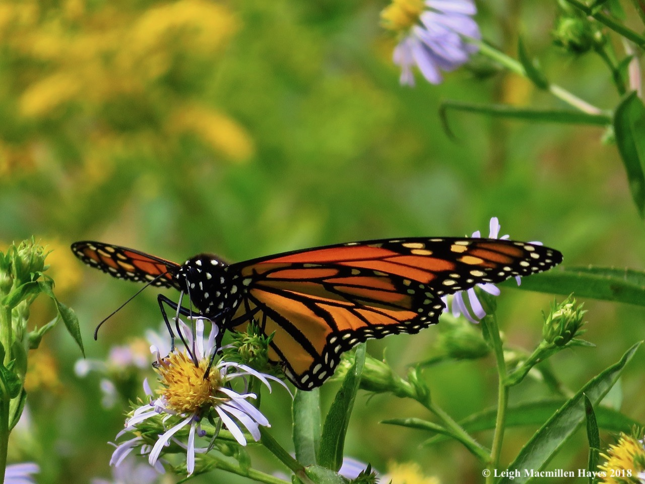 7-monarch on aster