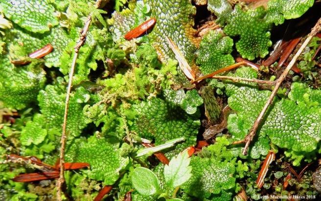 8-Conocephalum salebrosum