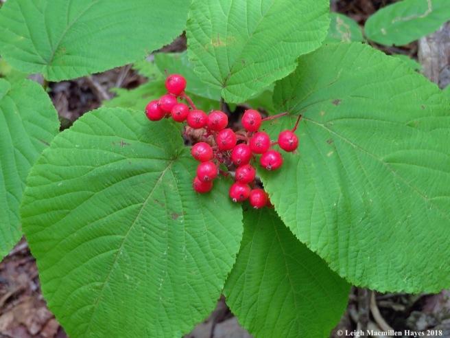 8-hobblebush berries