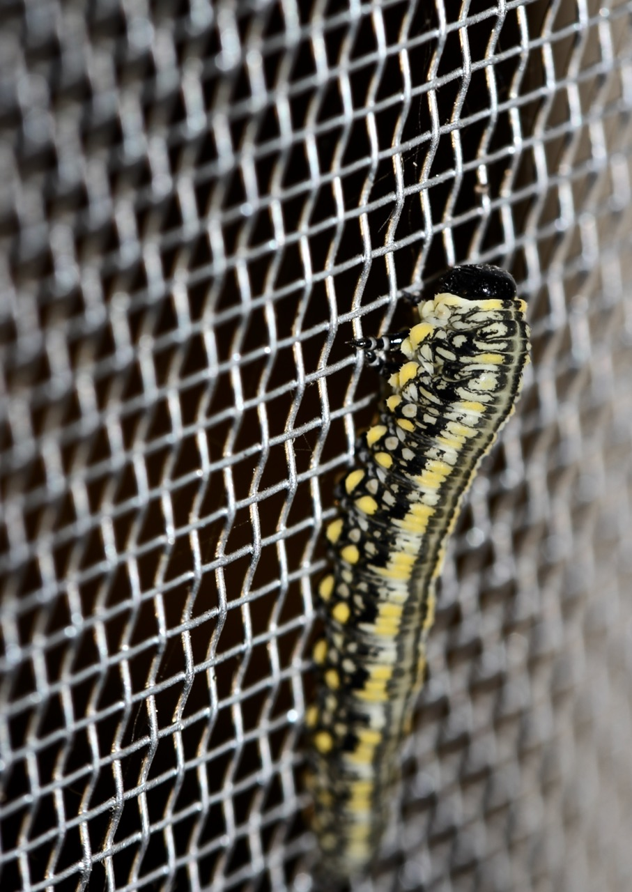 8-pine sawfly caterpillar on screen