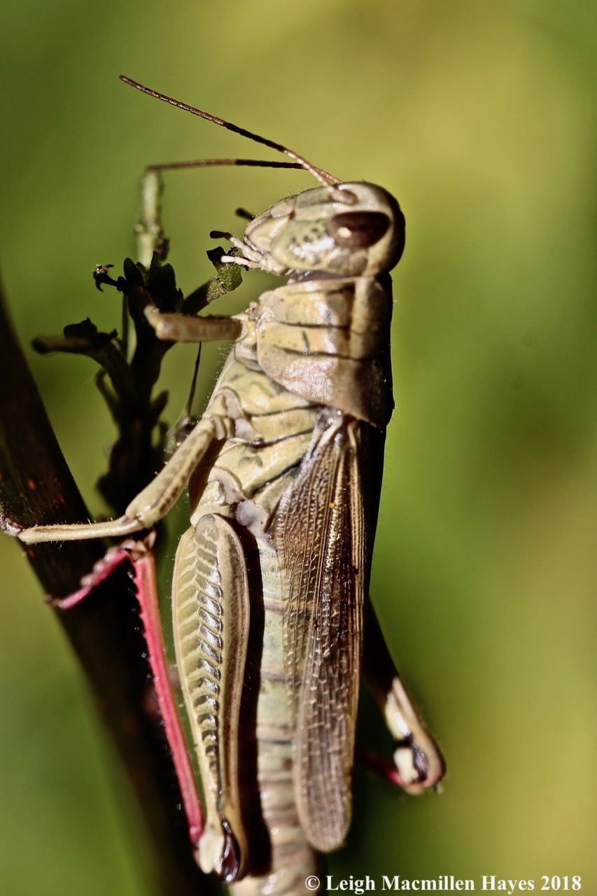 8-red-legged grasshopper