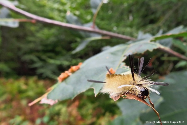 9-banded tussock caterpillar