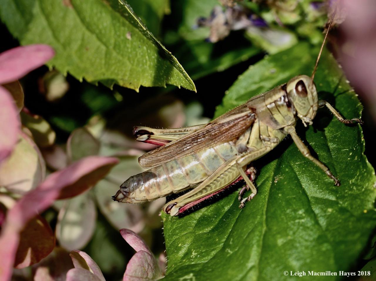 9-grasshopper