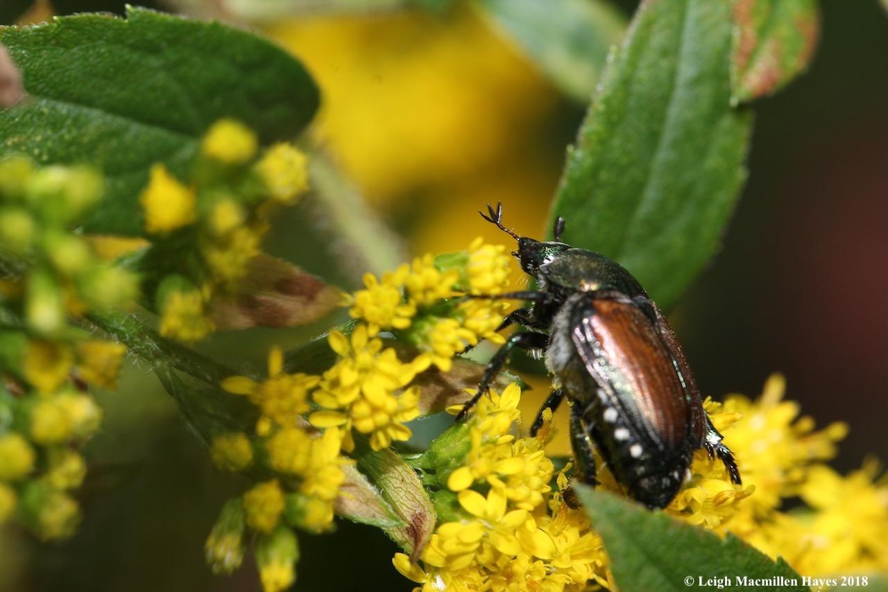 9-Japanese Beetle