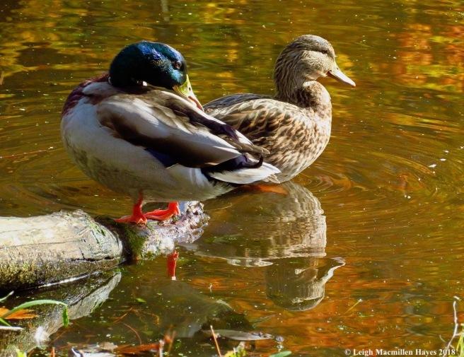 1-duck pond