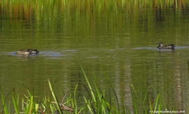 10-green teal ducks