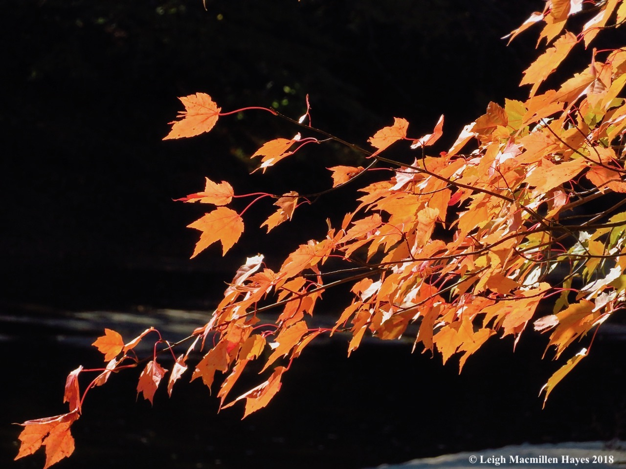 10-red maple leaves