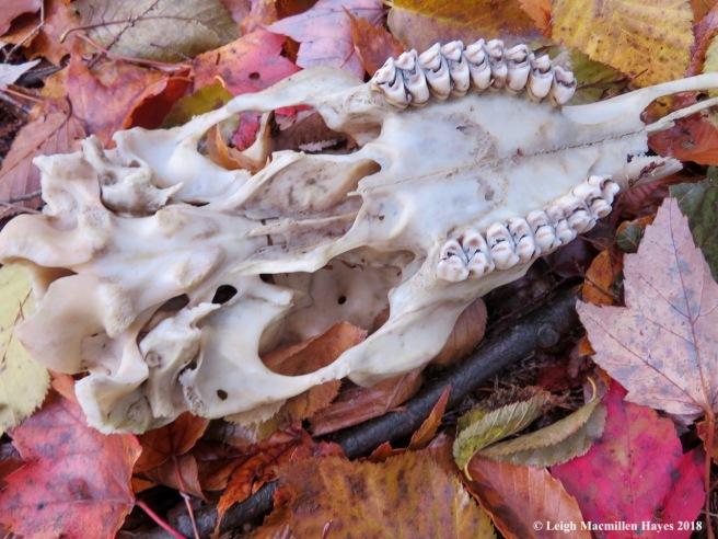 11-deer skull