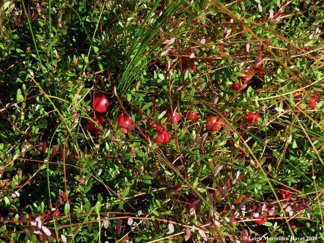 13-cranberries