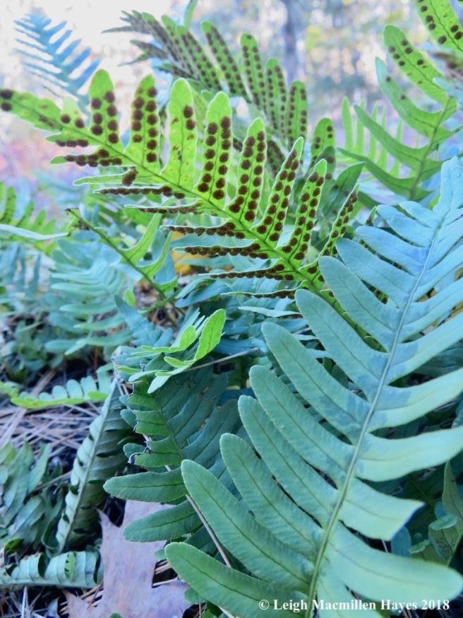 13-polypody ferns