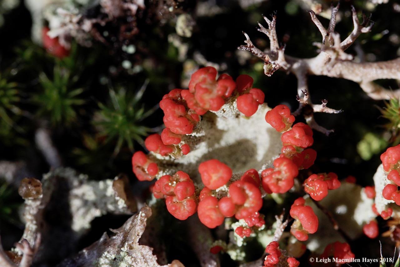 13-red-fruited lichens
