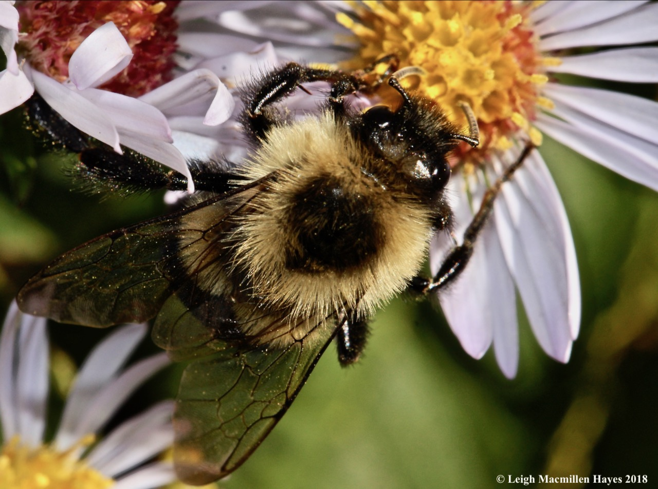 15-bumblebee pollination