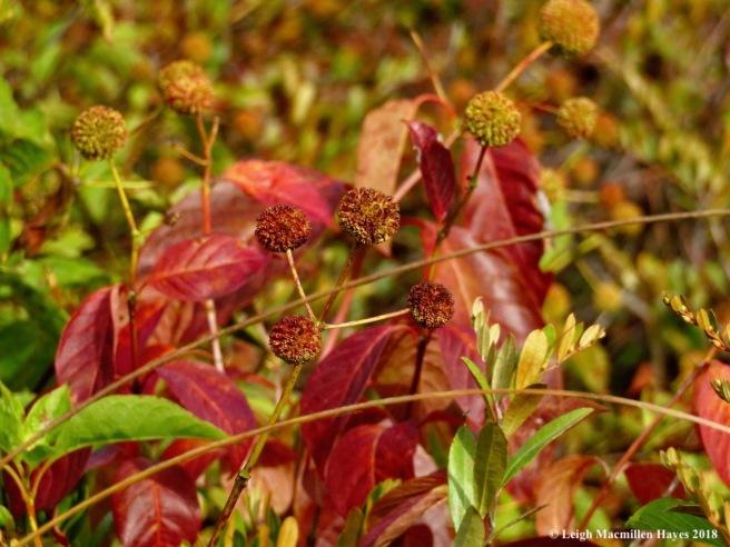 16-buttonbush
