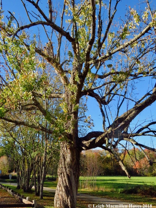 17-old silver maple