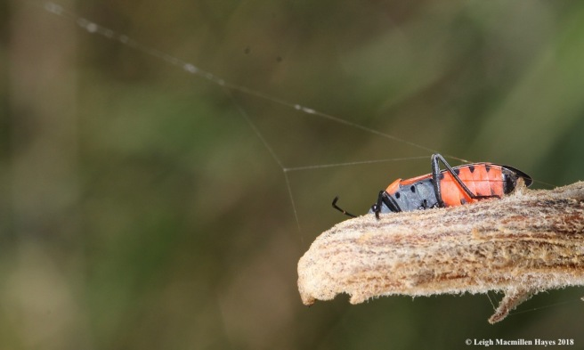 18-large milkweed bug