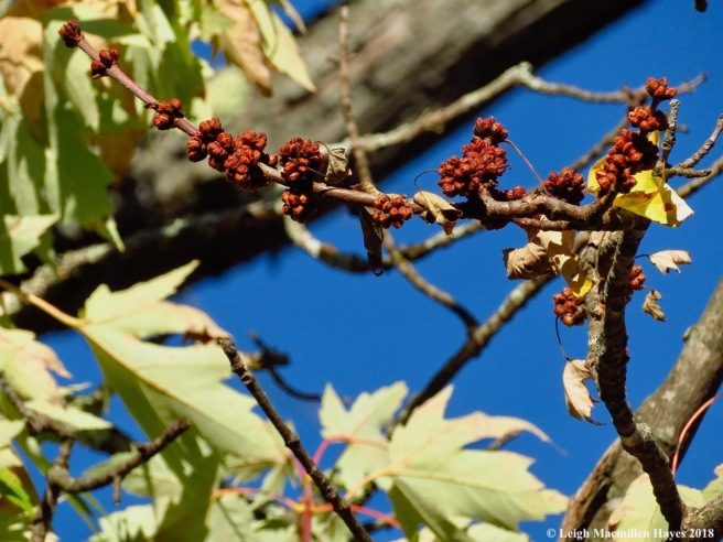 18-silver maple buds