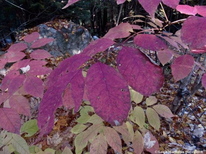 19-ash leaves