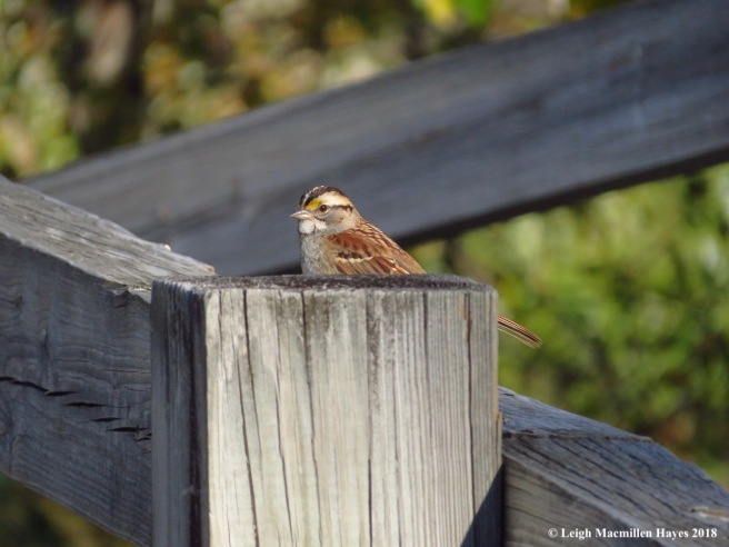 19-white-throated sparrow