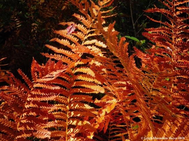 1a-cinnamon fern