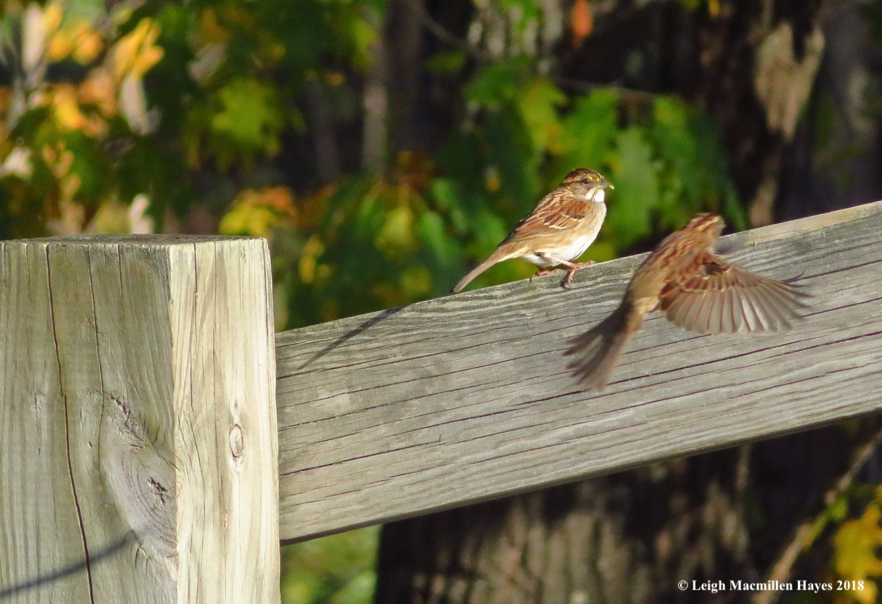 20-2 white-throated sparrows