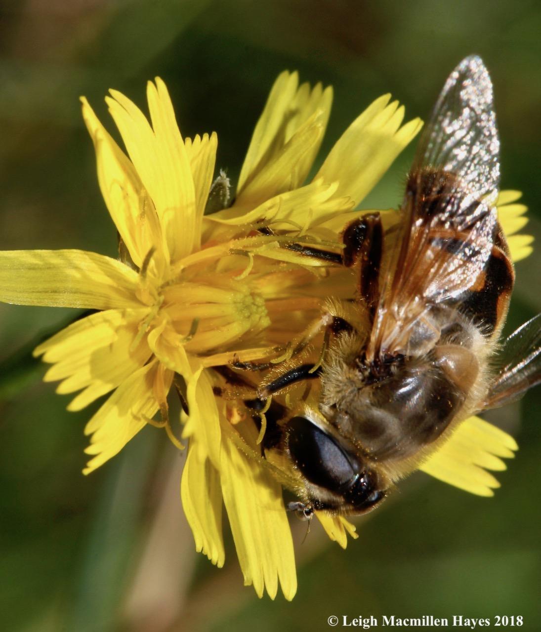 20-drone fly, looks like a European honey bee