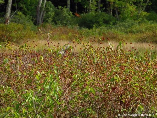 21-buttonbush galore, but more