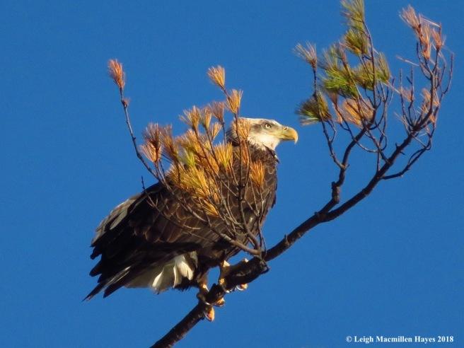 22-immature Bald Eagle