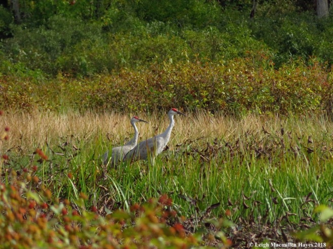 22-two sandhill cranes