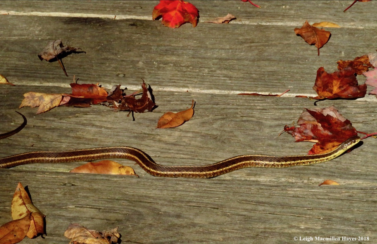23-garter snake