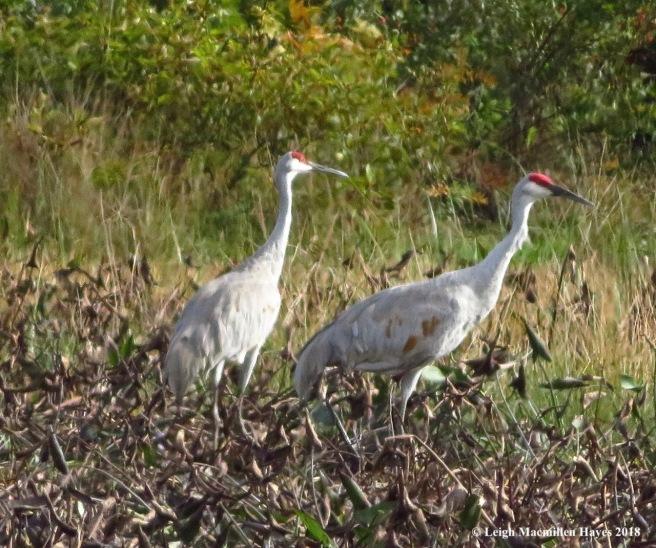 23-sandhill cranes