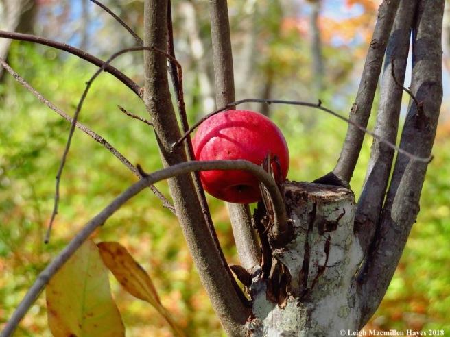 24-apple tree