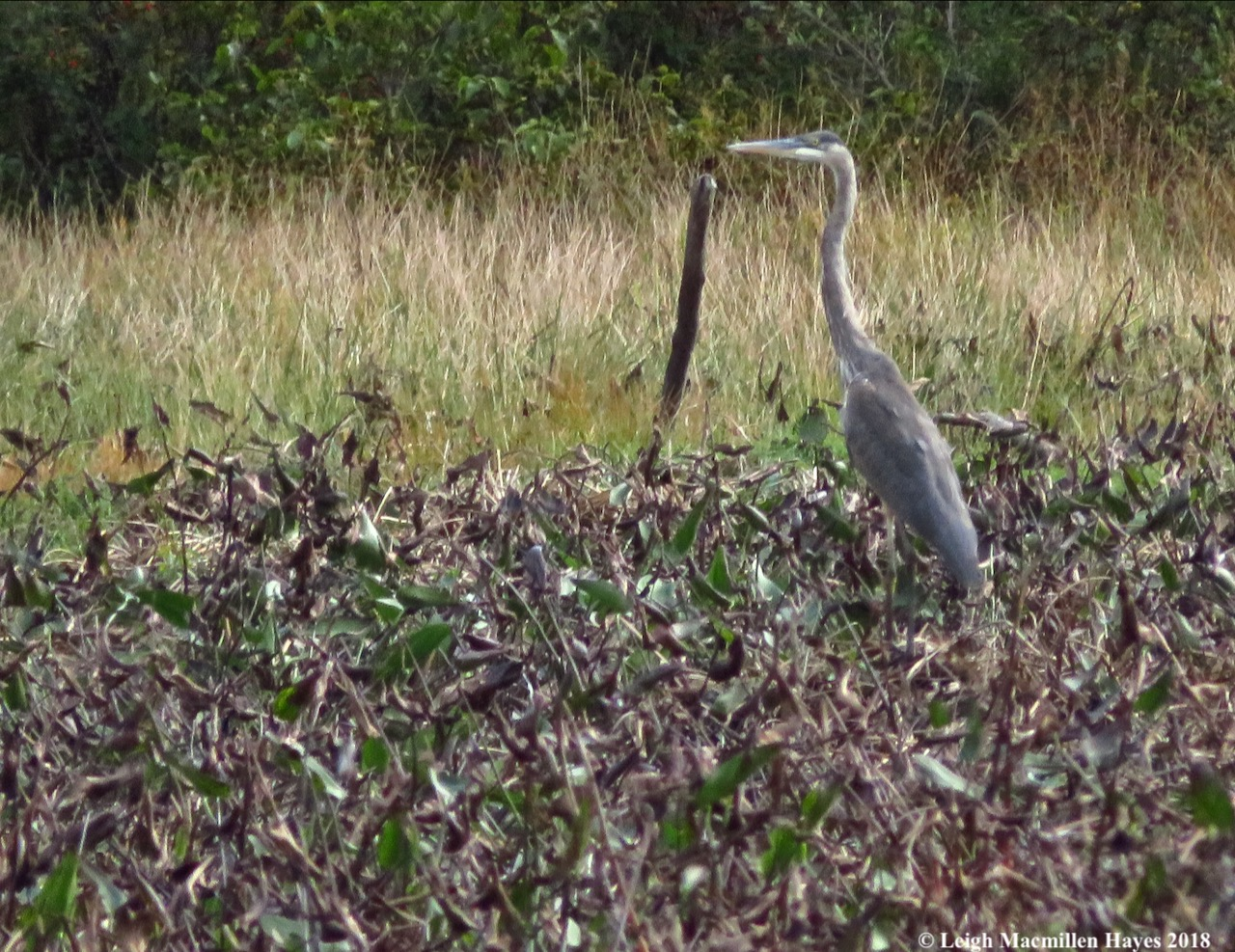 25-great blue heron