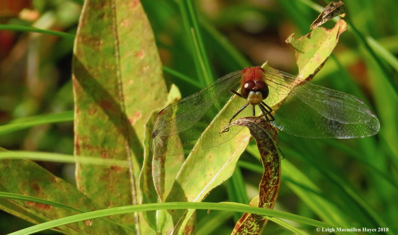 3-white face meadowhawk