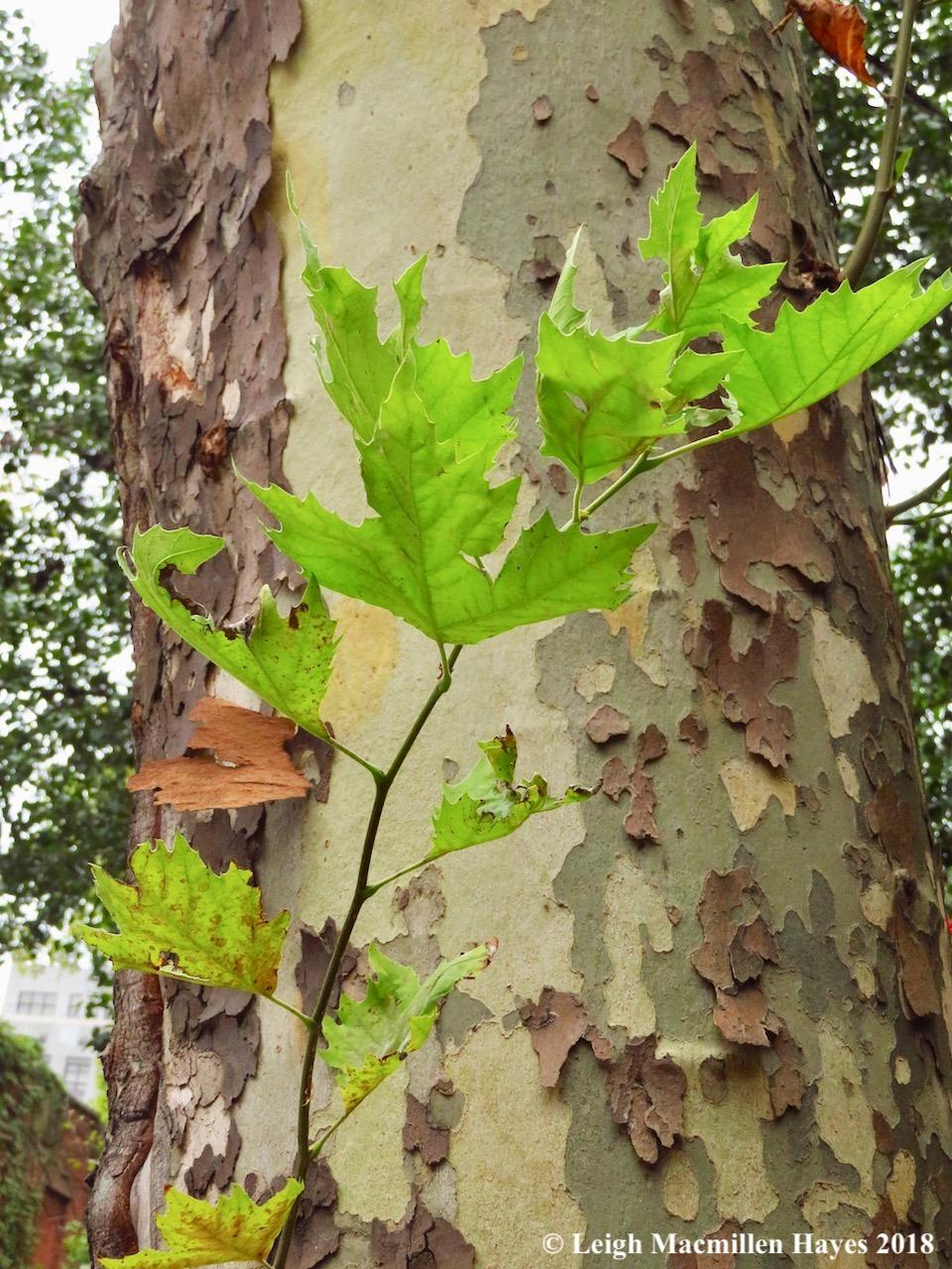 31-sycamore tree