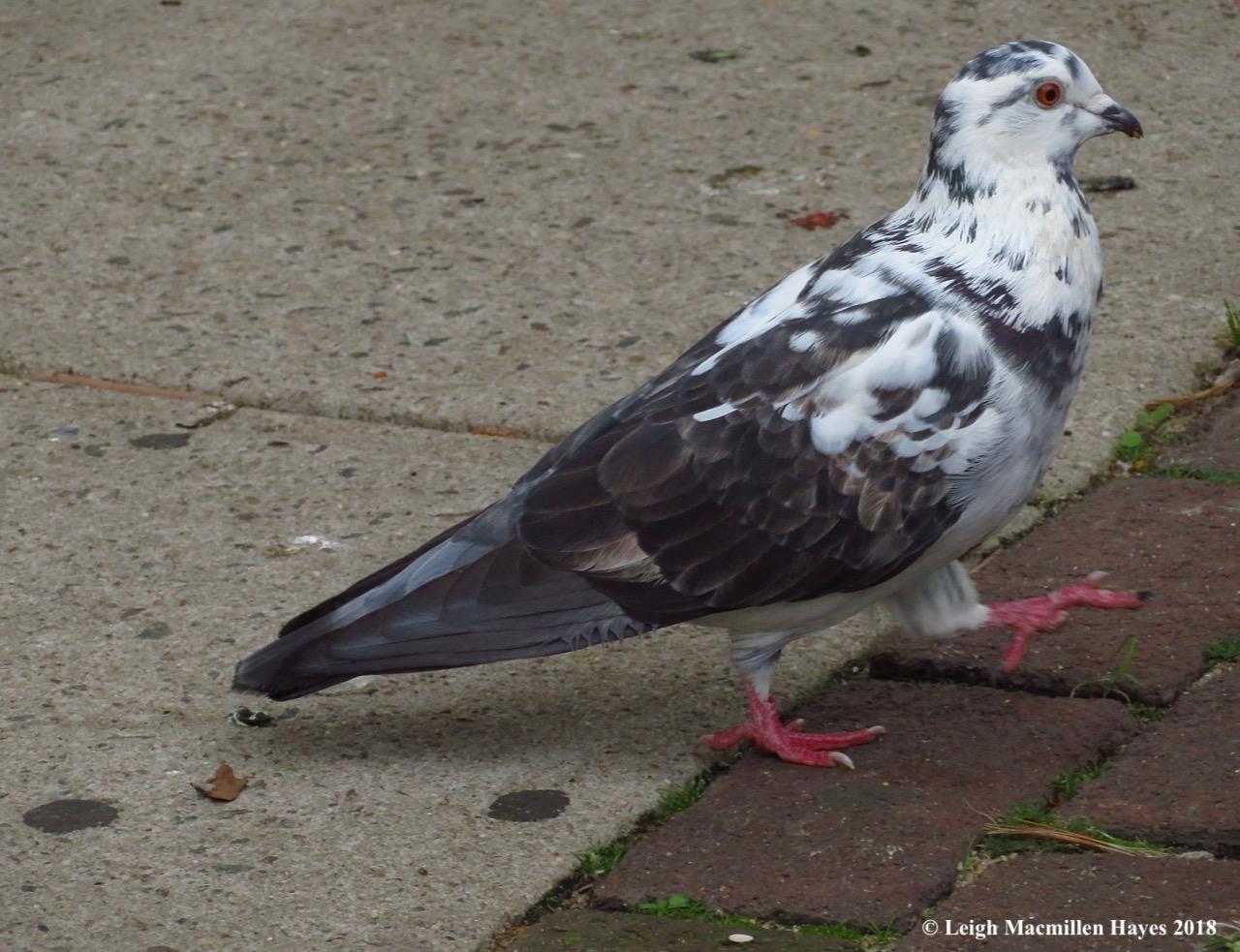 34-pigeon