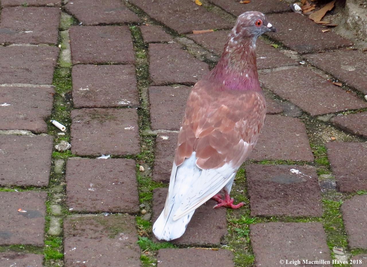 35-pigeon