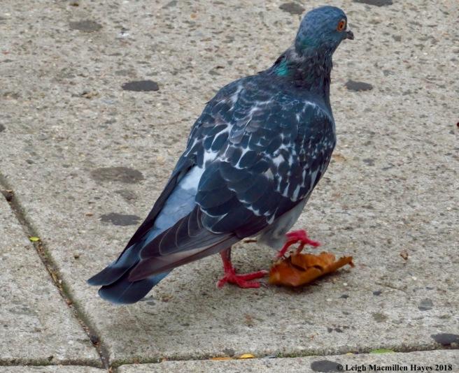 35a-pigeon