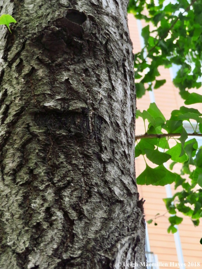 40-maidenhair tree, ginko