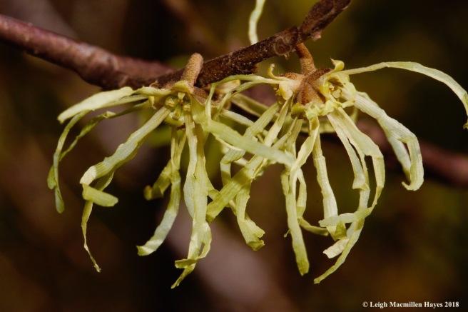 4a-witch hazel flowers
