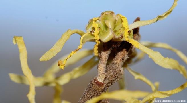 4b-witch hazel flowers, leaf:bundle scars