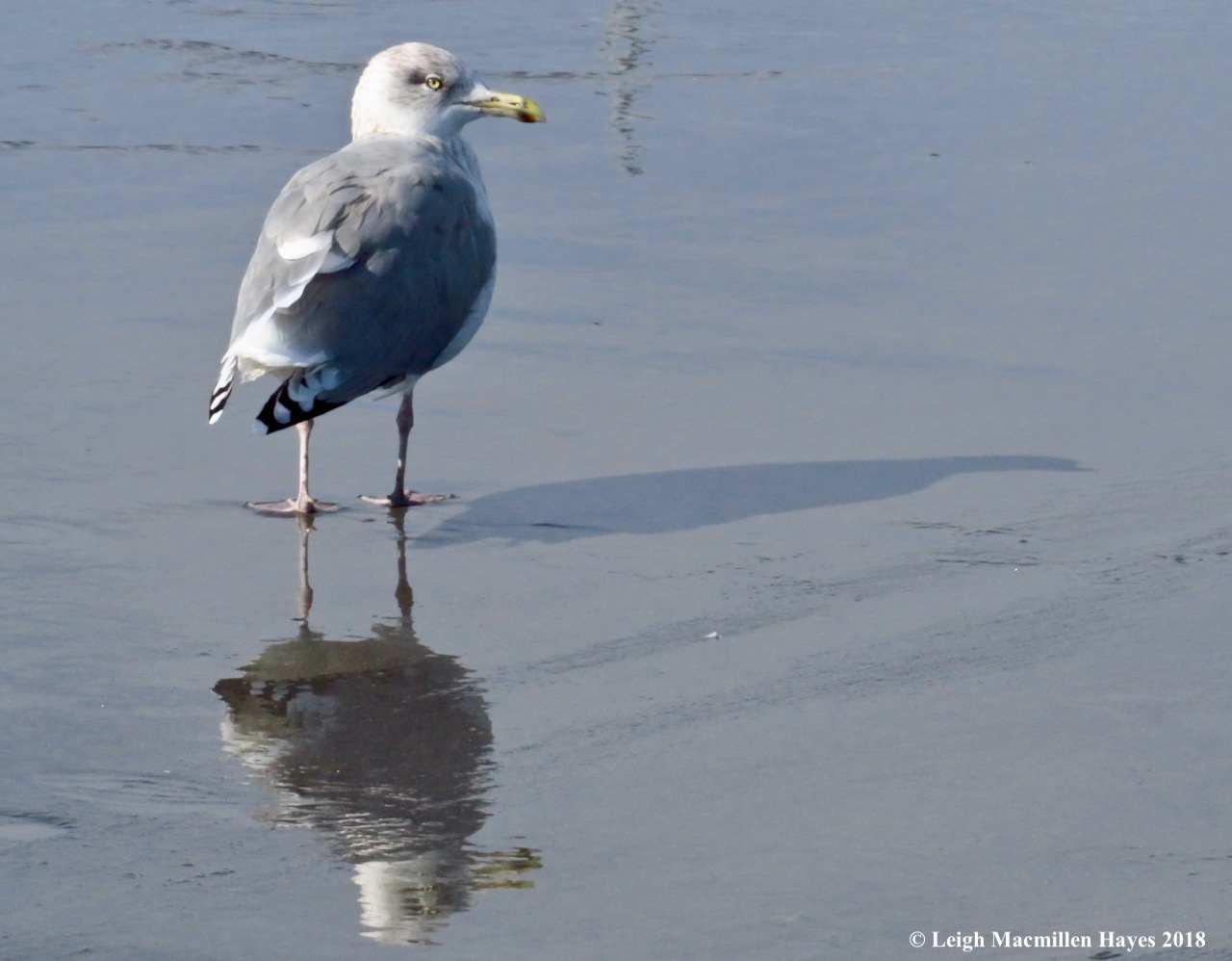 5-herring gull-shadow and reflection
