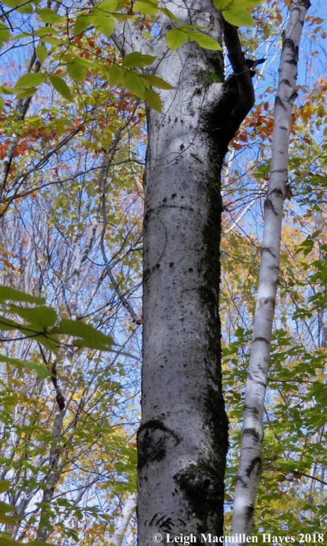 7-bear tree