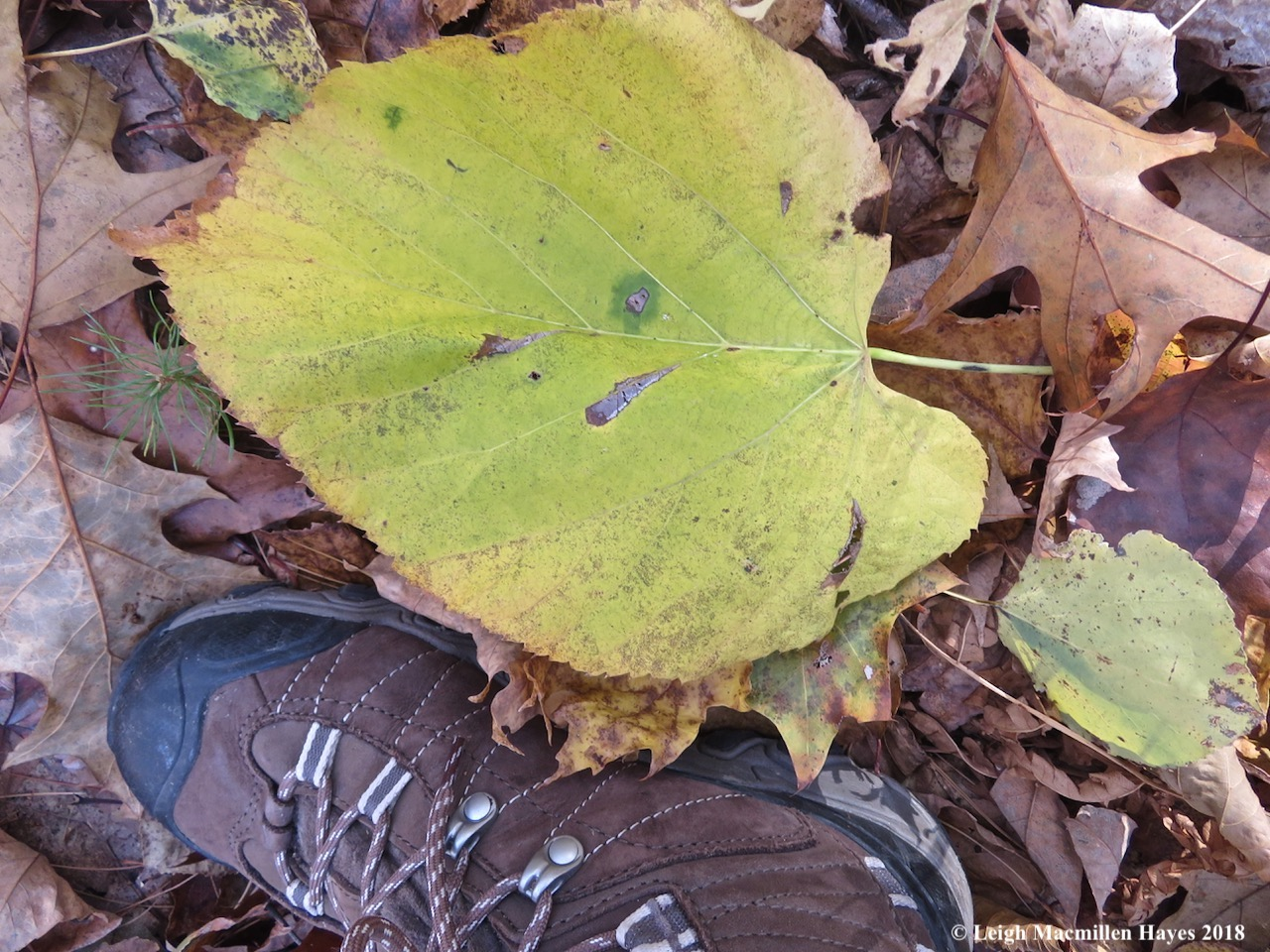 7-even larger basswood leaf