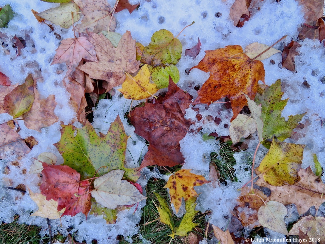7a-leaves enhanced by snow