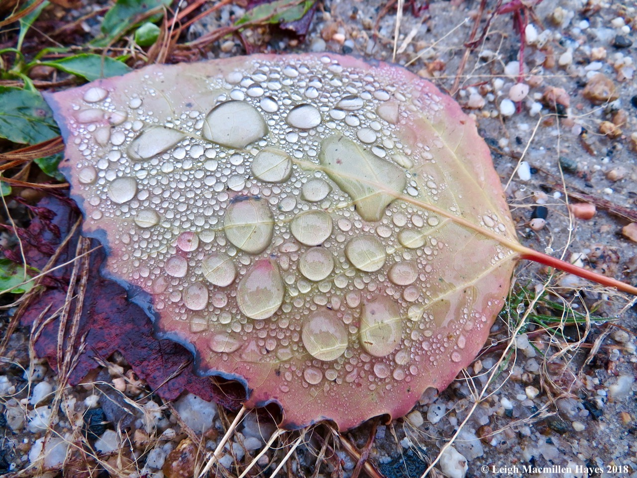8-melted snow on big tooth aspen leaf